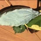 葉っぱの型押し陶芸
